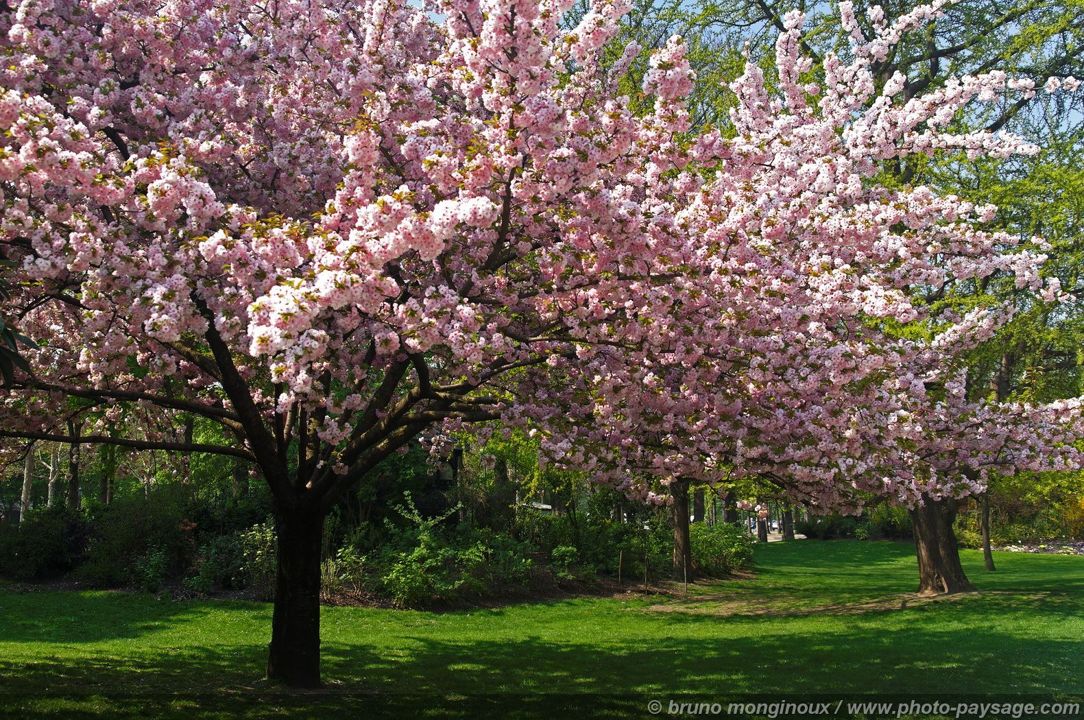 цветущие деревья, скачать фото, обои на рабочий стол
