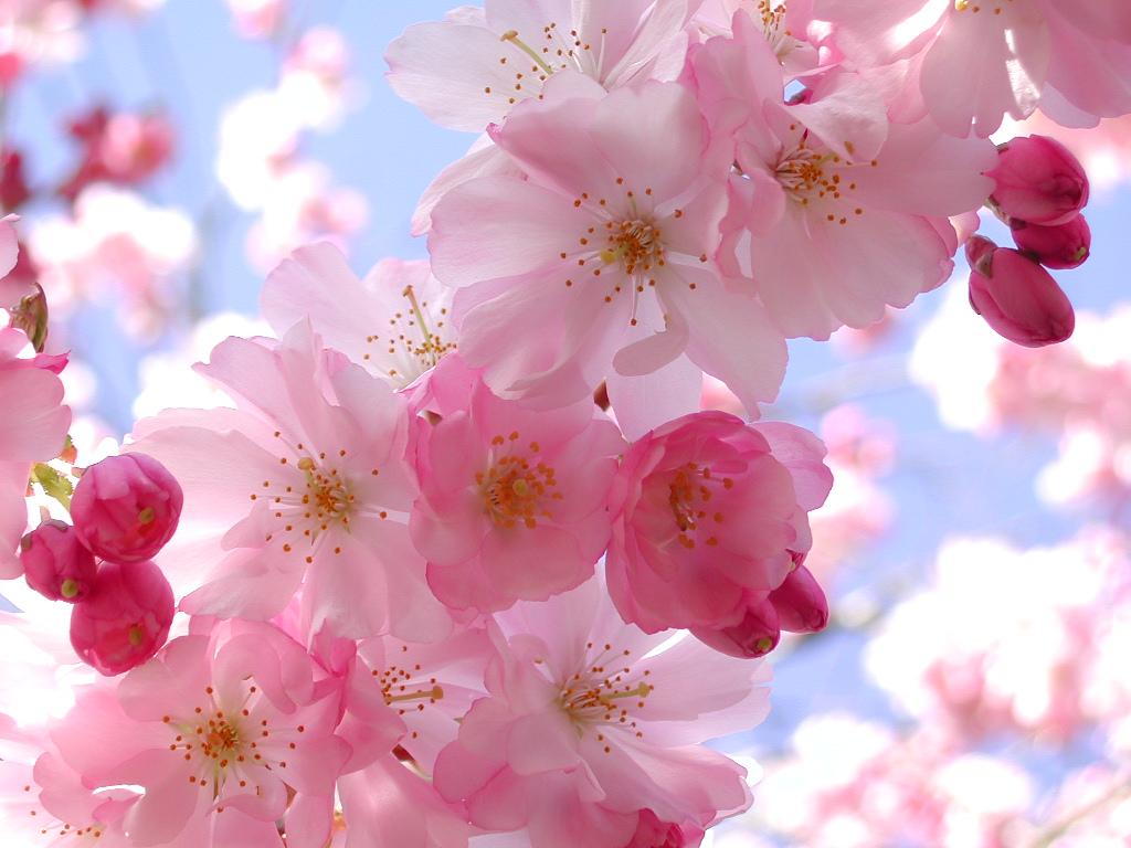 spring flower wallpaper, скачать фото, весна, цветы, скачать фото