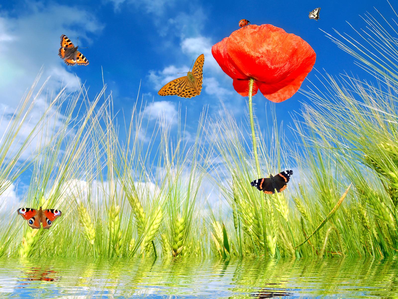 мак, зеленая трава, бабочки, весна, скачать фото, обои для рабочего стола