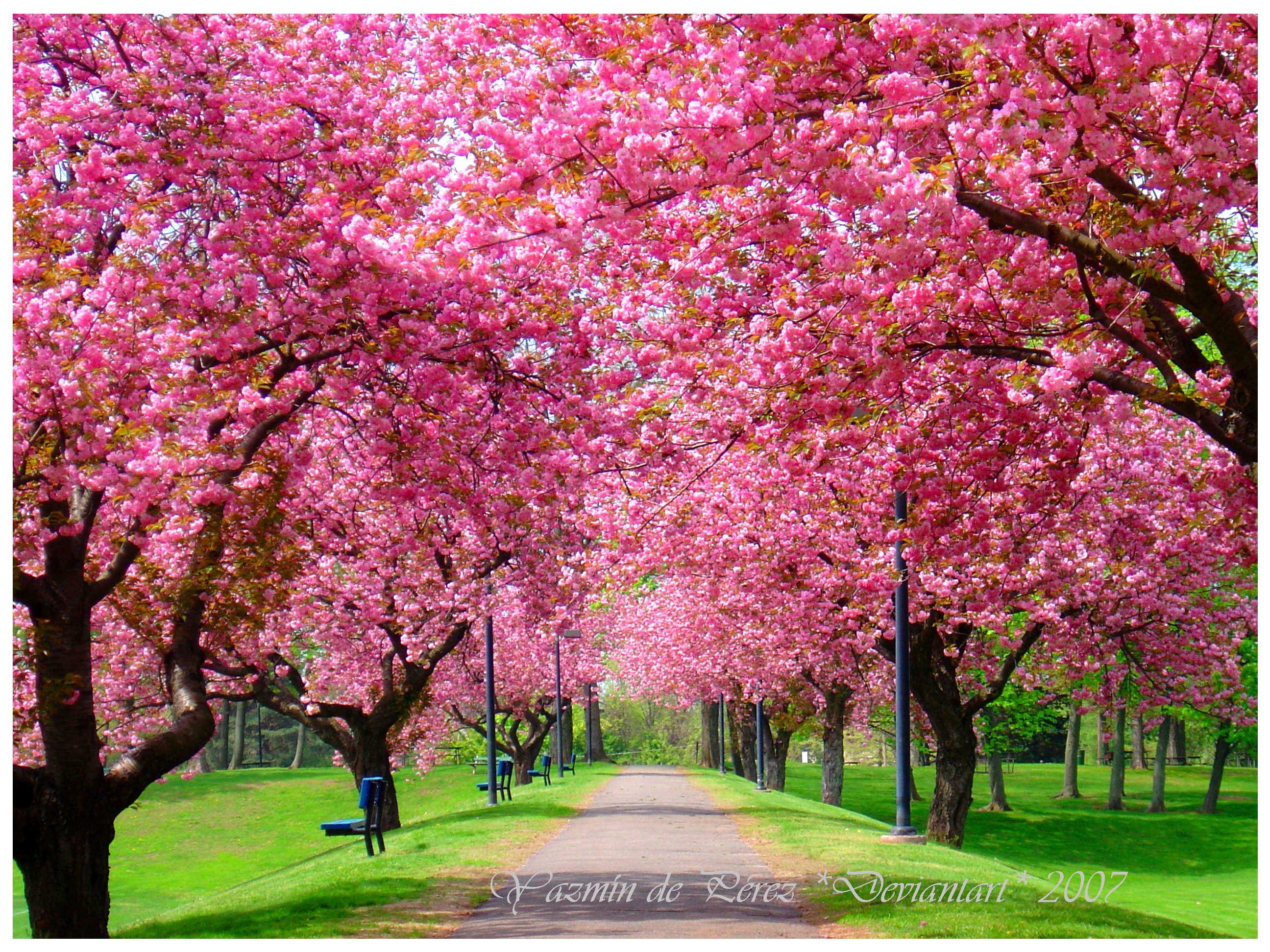 Весенние деревья скачать фото цветы