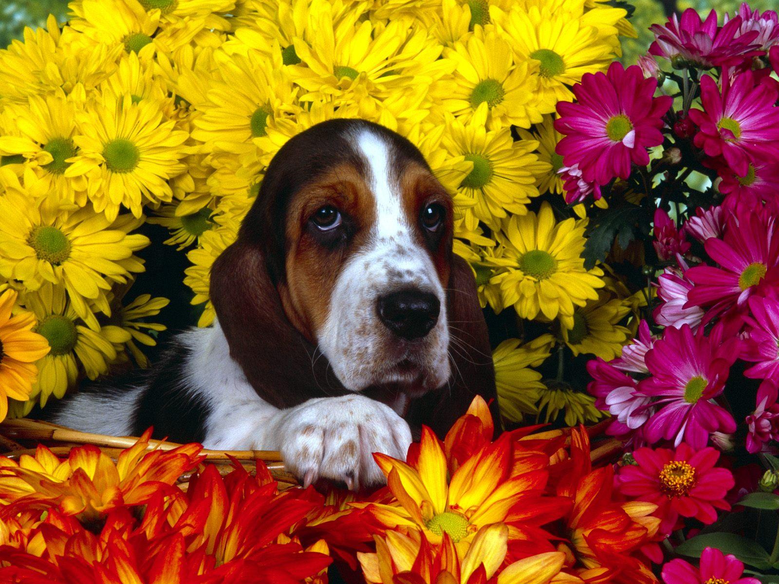 бассет хаунд в окружении весенних цветов, весна, скачать фото, обои для рабочего стола