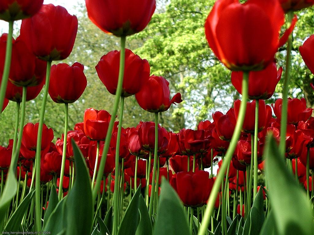 красные весенние маки, скачать фото, обои на рабочий стол