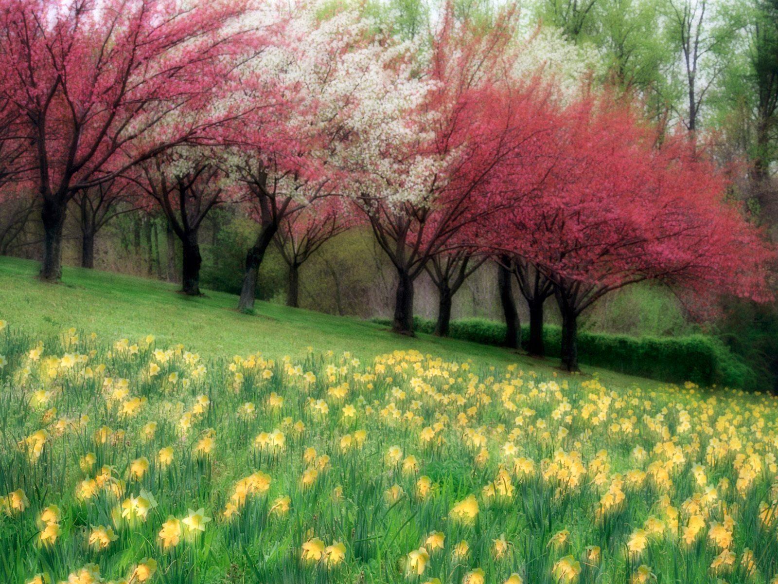 spring wallpaper, цветущие деревья, цветы, поляна, обои для рабочего стола