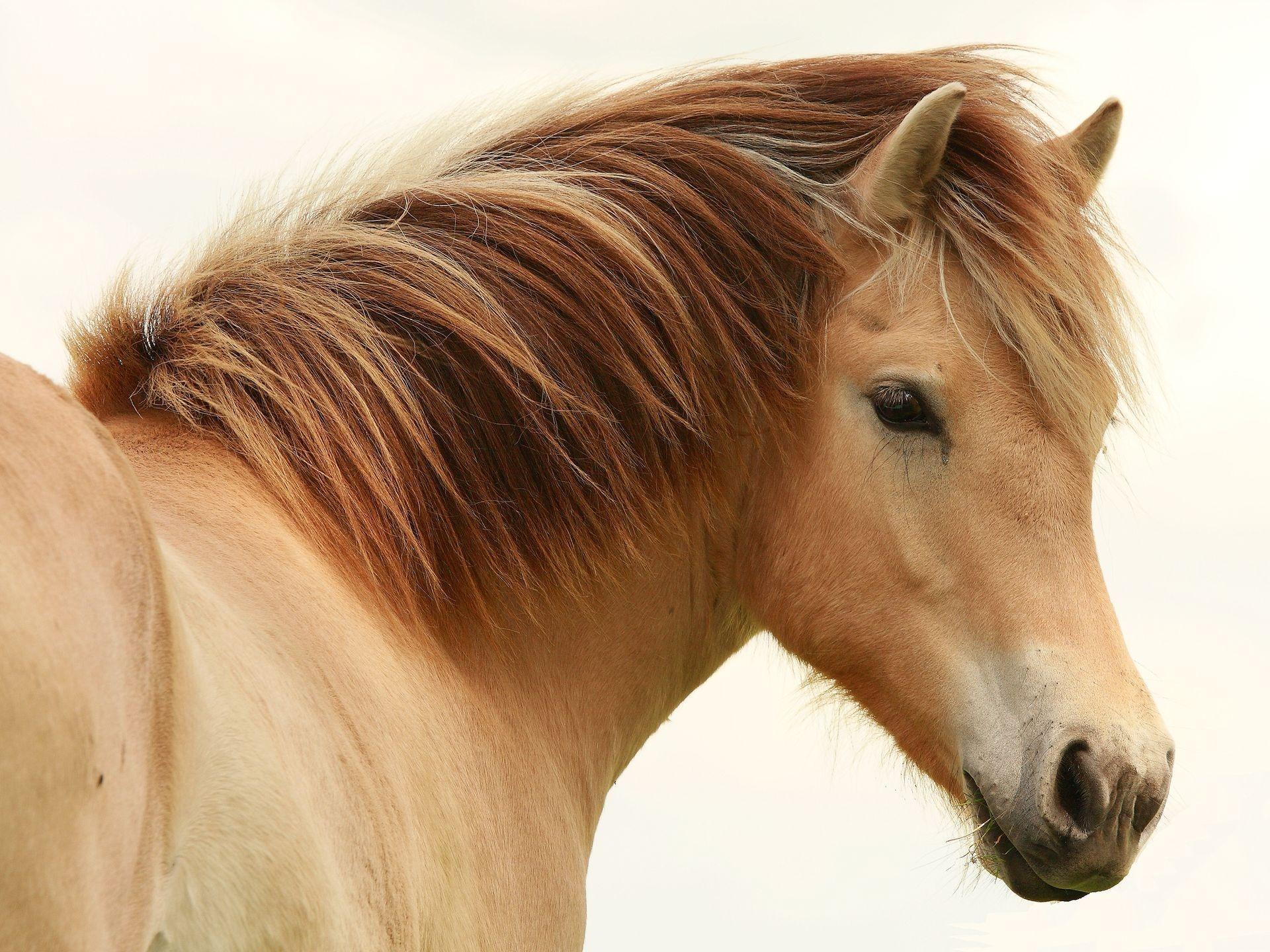 голова лошади, грива, скачать фото, лошадь на белом фоне, обои для рабочего стола