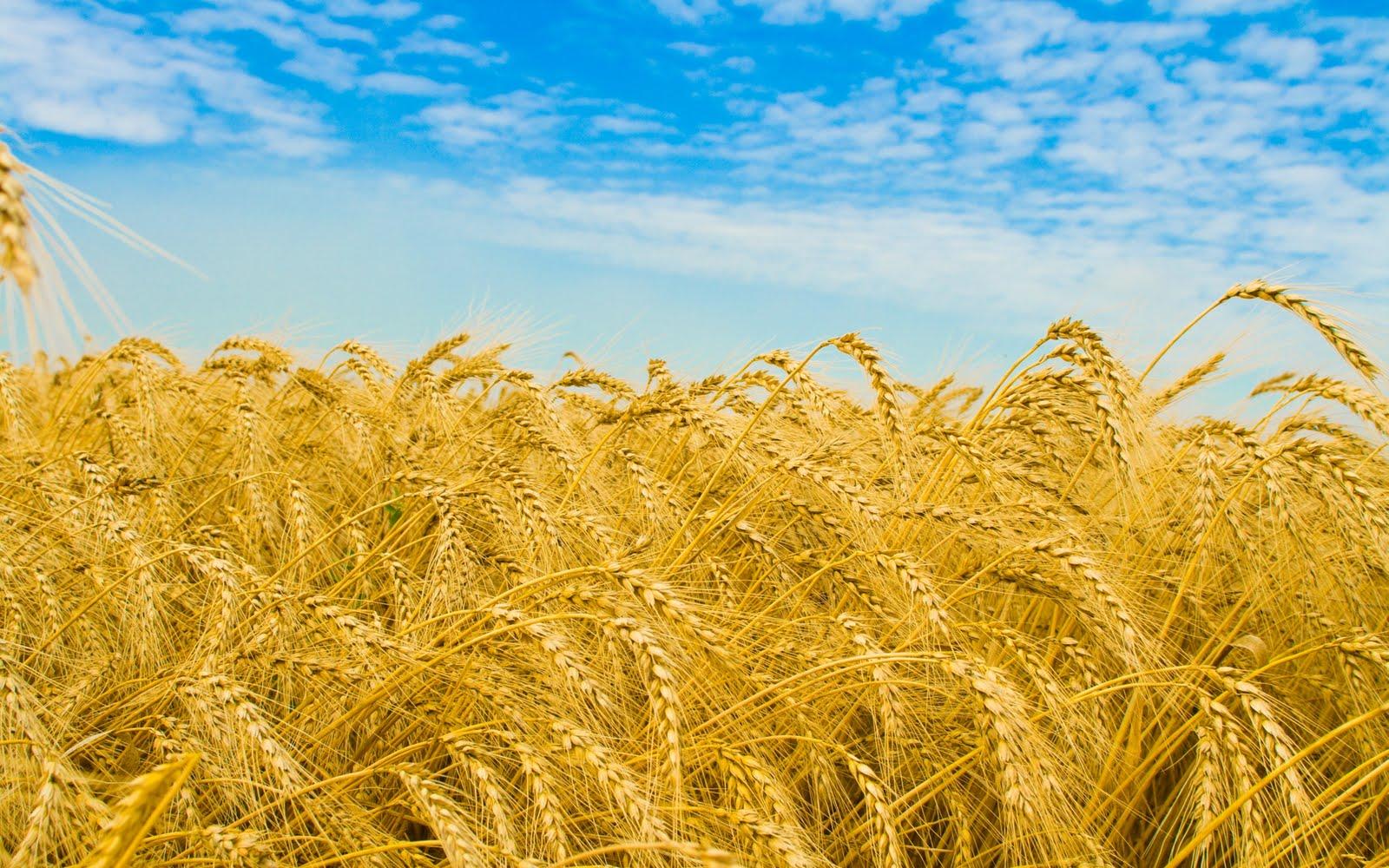 лето, поле пшеницы, скачать фото, обои для рабочего стола, пшеница колосья