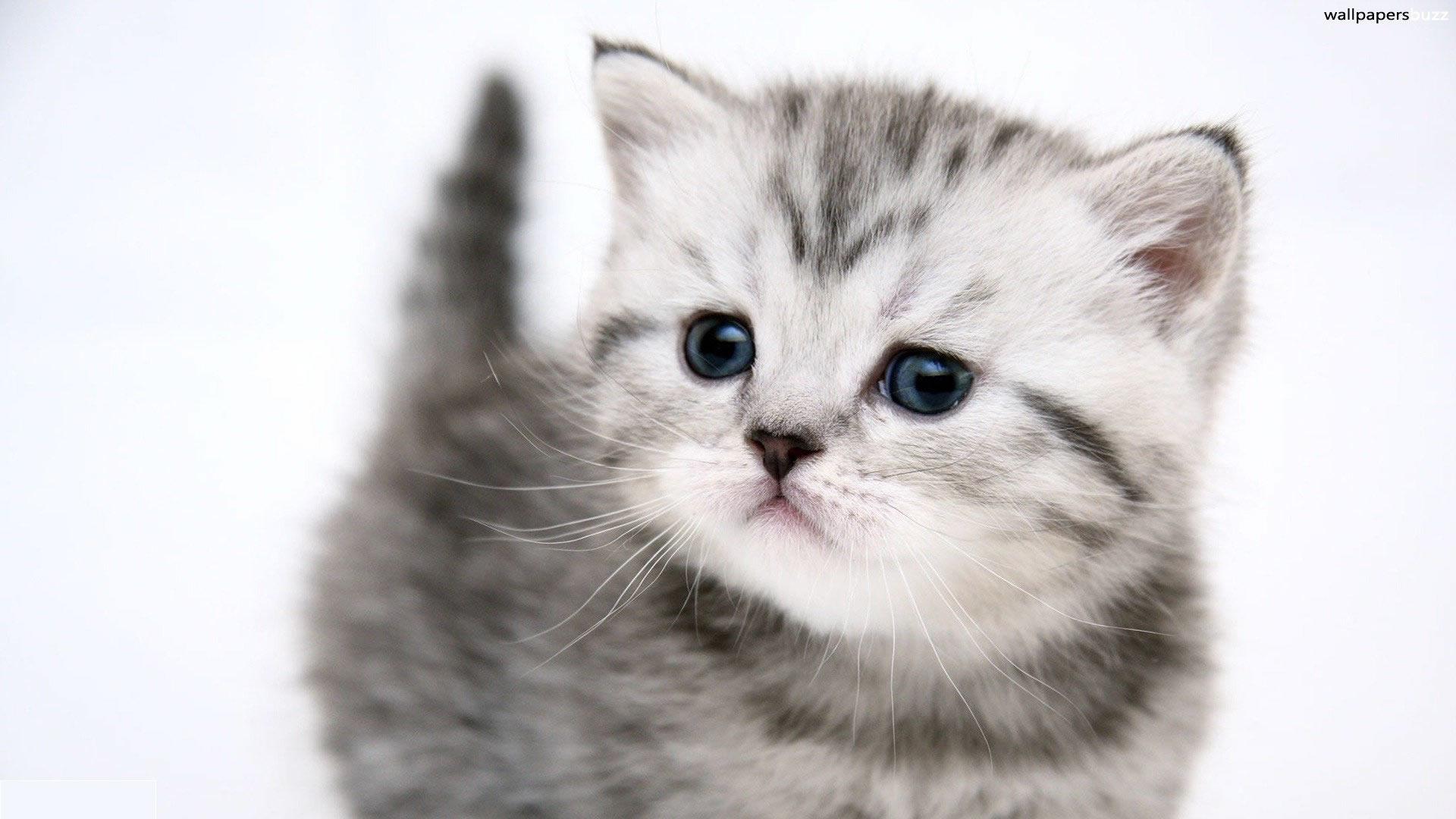 милый, маленький серый котенок, скачать фото, обои для рабочего стола, kitten wallpaper