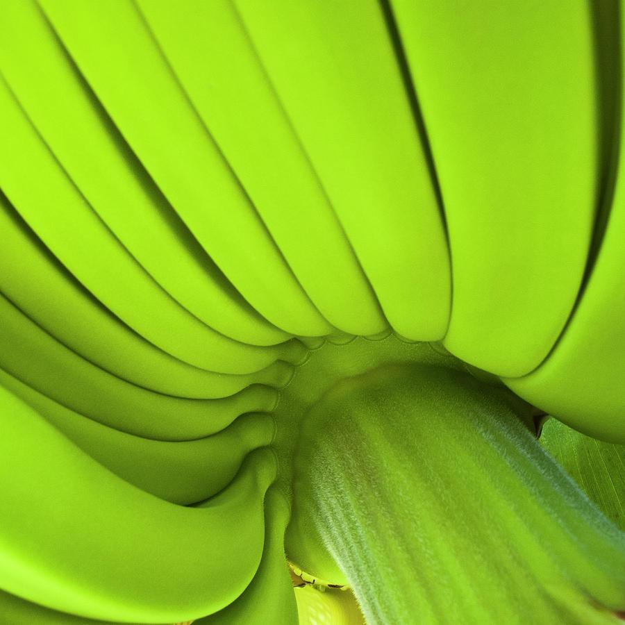 зеленые банаы на пальме, скачать фото, обои на рабочий стол, green bananas
