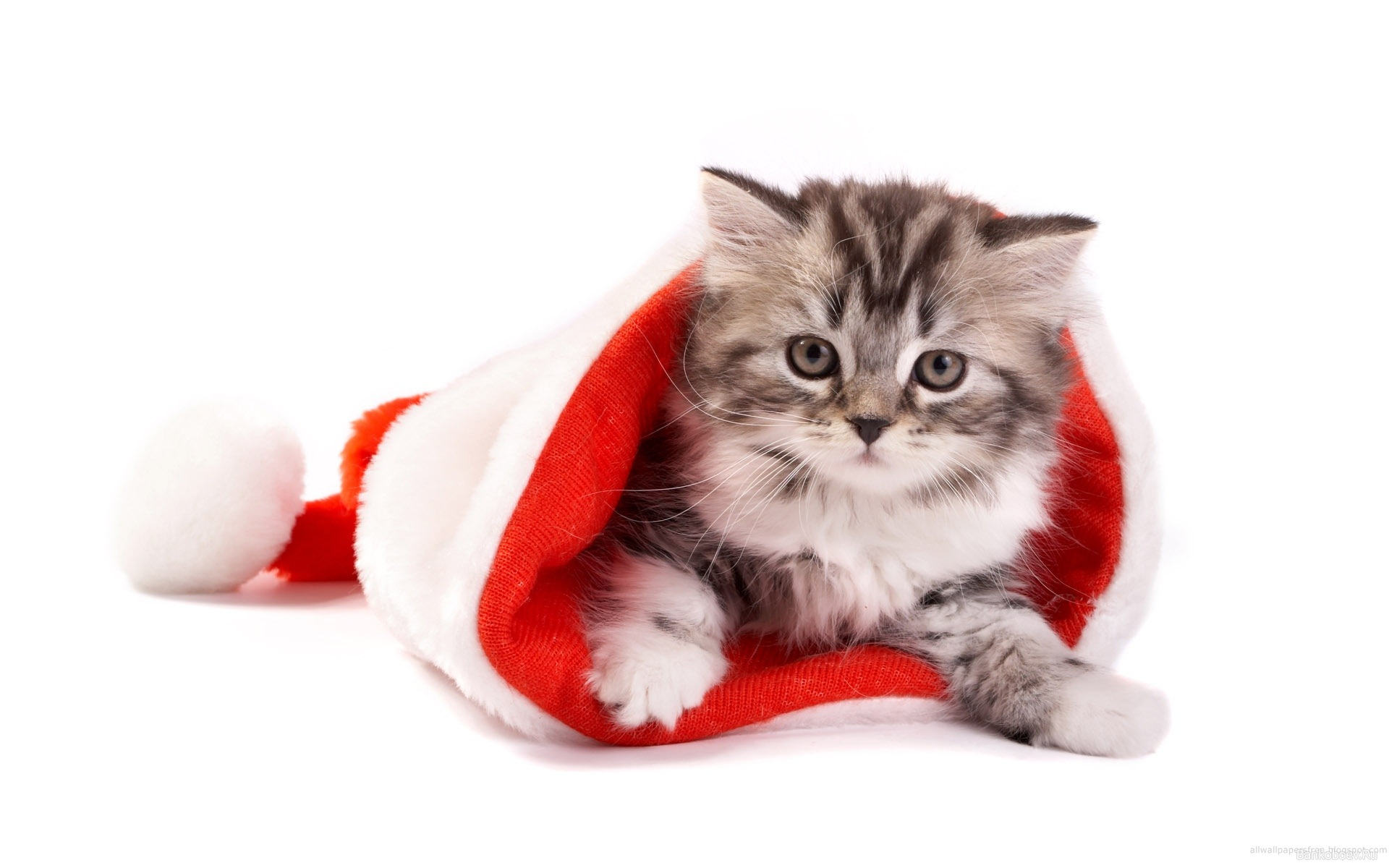 котенок дед мороз, скачать обои на рабочий стол, kitten Santa Claus wallpaper, фото