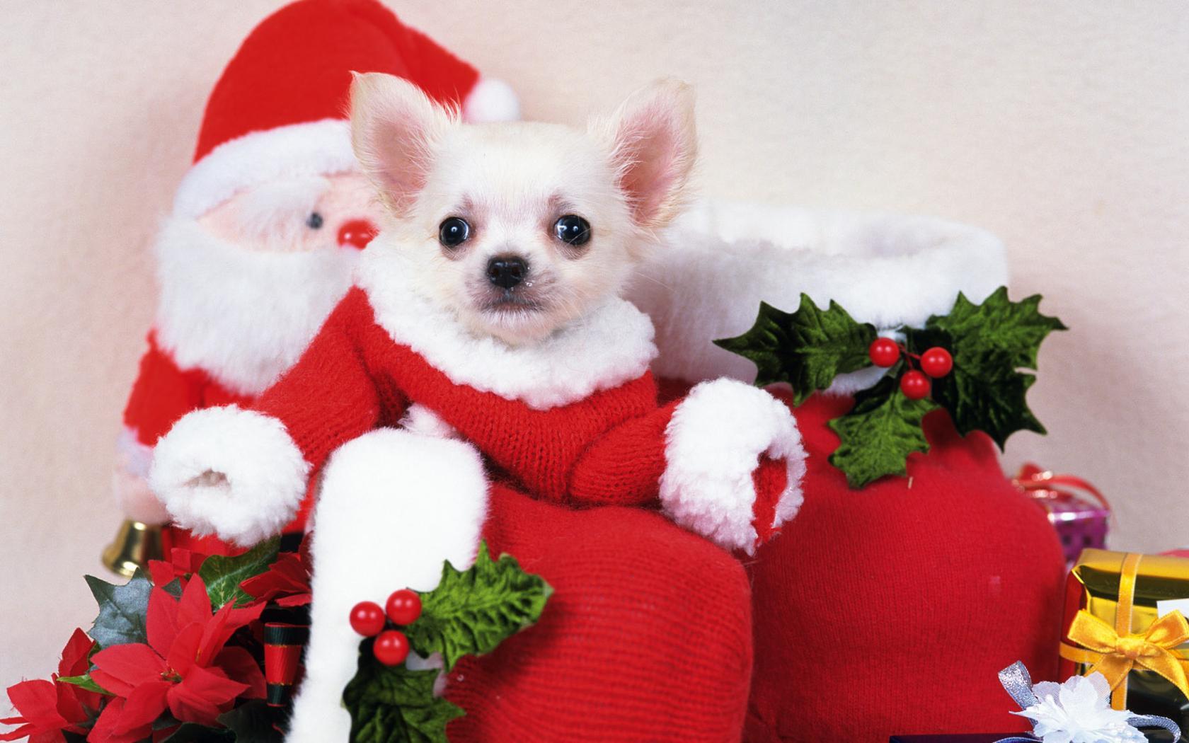 Дед мороз собачка, скачать обои на рабочий стол, dog Santa Claus wallpaper, фото