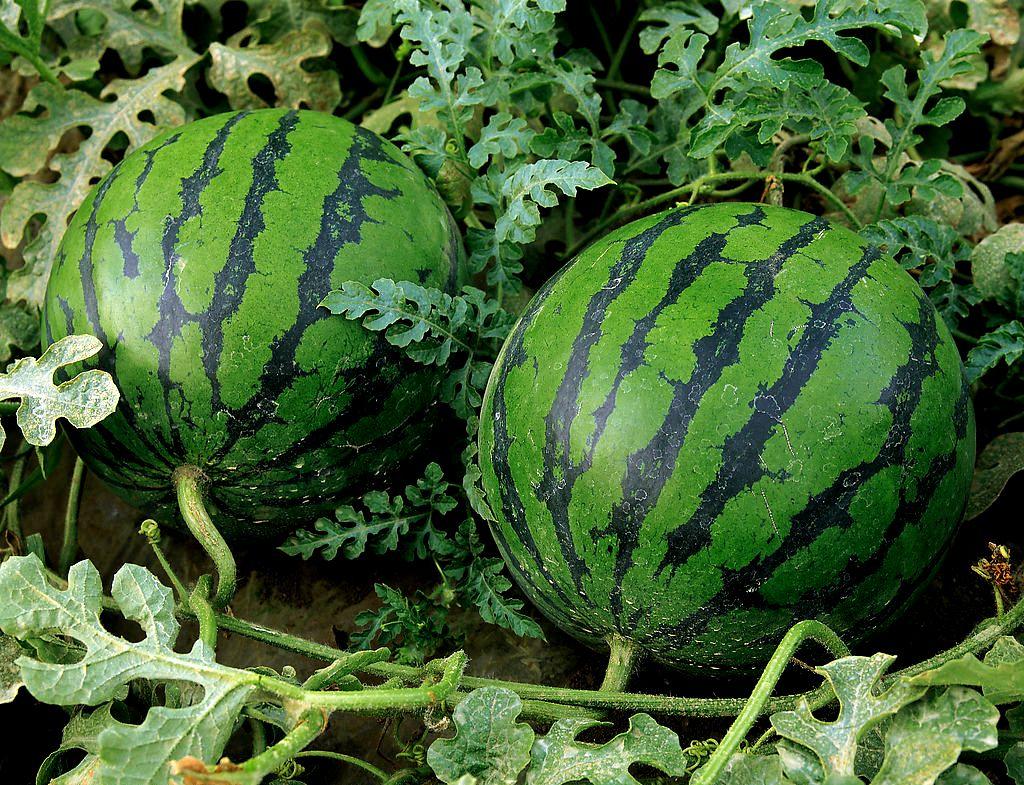 зеленые арбузы, фото, обои для рабочего стола, фото, скачать