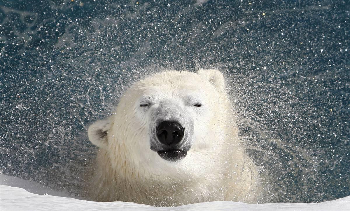 white polar bear, wallpaper, фото, белый медведь