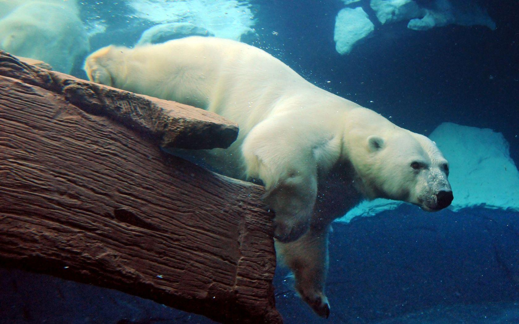 Белый медведь, фото, обои для рабочего стола