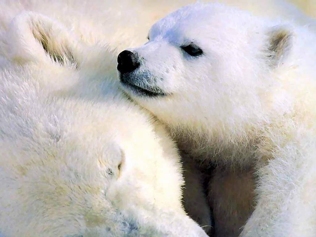 Белый медвежонок, маленький, белый медведь, фото