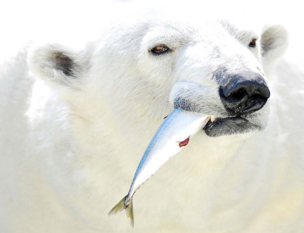 Белый медведь, держит в зубах рыбу, скачать фото, обои для рабочего стола