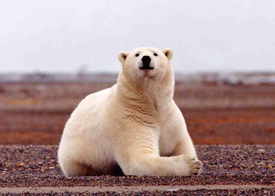 Белый медведь, white bear, в поле, скачать фото, обои на рабочий стол