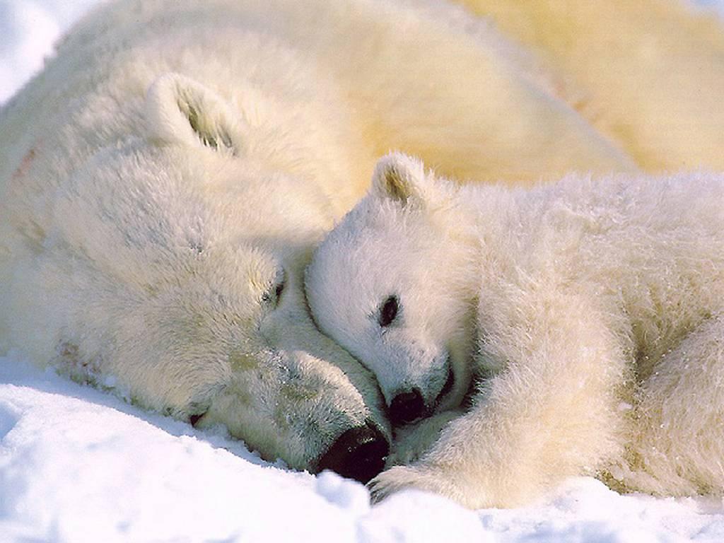 Белая медведица и медвежонок, скачать фото, обои для рабочего стола