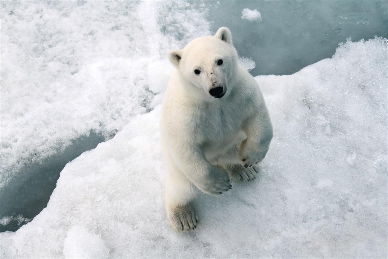 взгляд белого медведя, фото, обои для рабочего стола, white polar bear