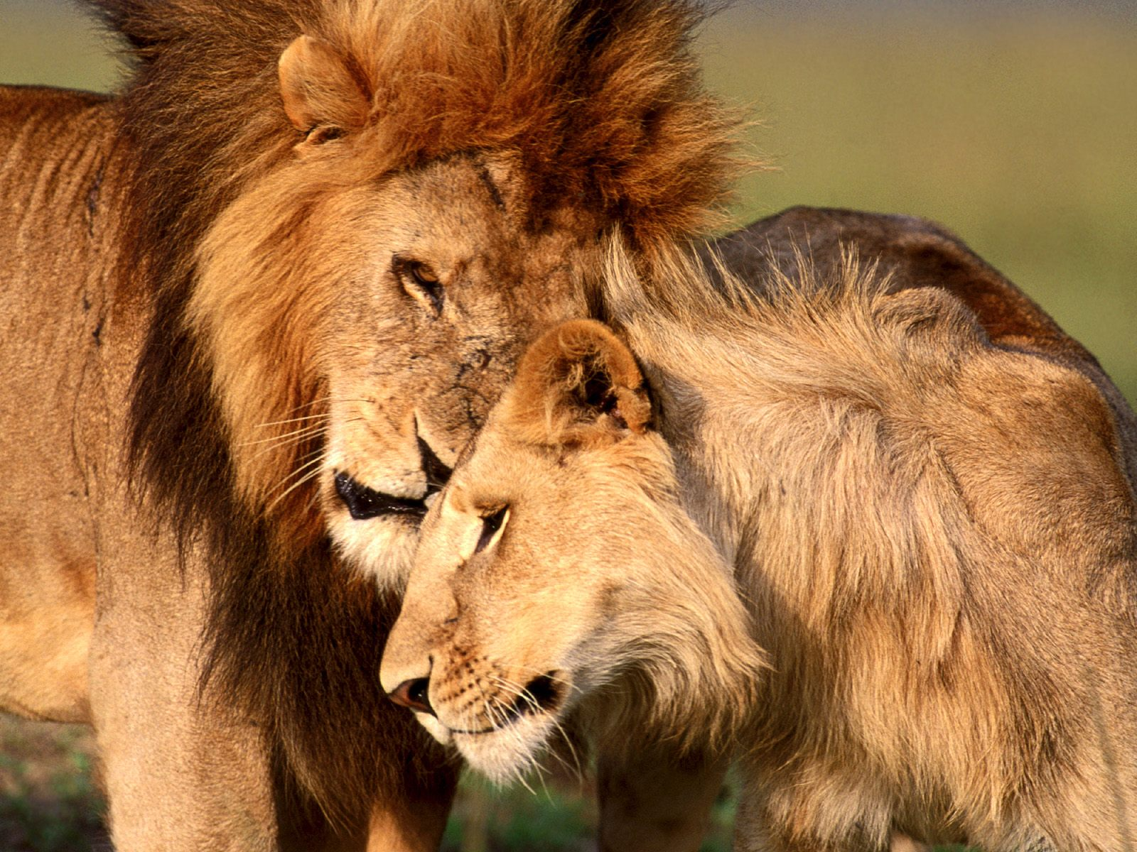 Картинки льва и львицы с надписями