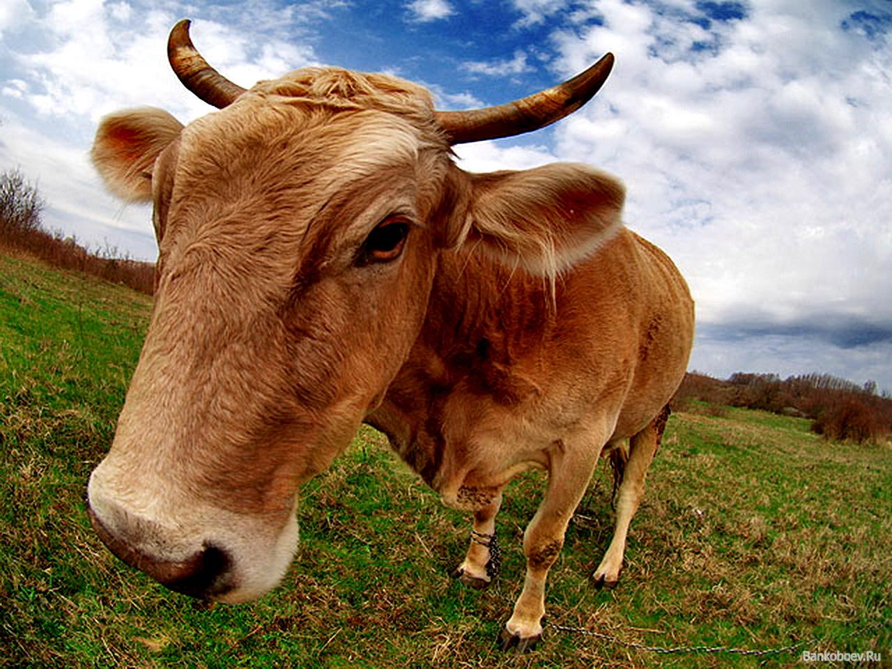 морда коровы крупным планом, скачать фото, обои на рабочий стол