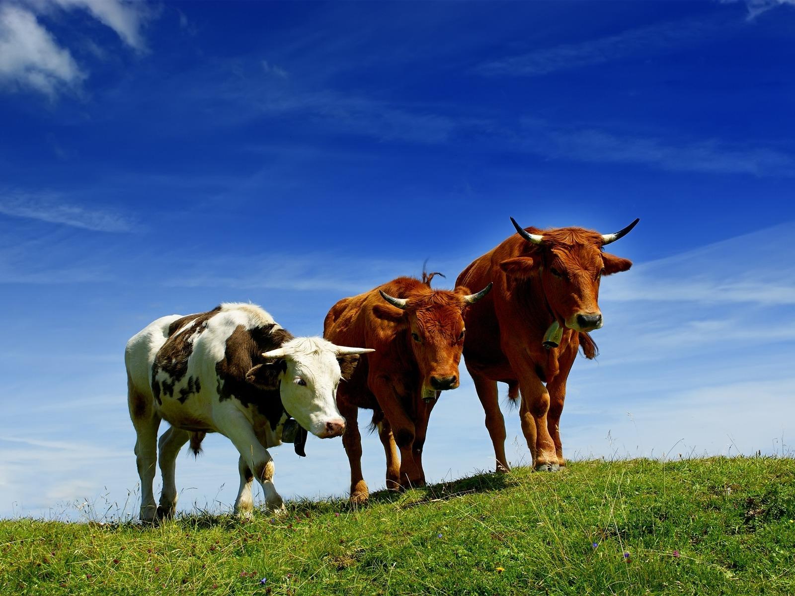 три коровы на лугу, скачать фото, на фоне неба, обои на рабочий стол